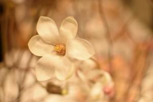 ニオイコブシのお花